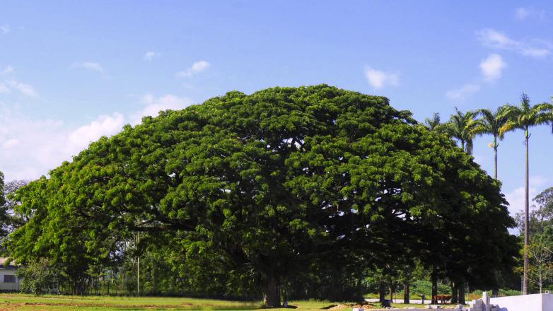 Árvore da chuva